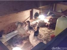 Di China Banyak Babi Palsu, Kalau AS 'Banjir' Kalkun Palsu