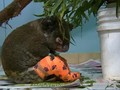 VIDEO: Lewis, Koala Korban Karhutla Australia Mati