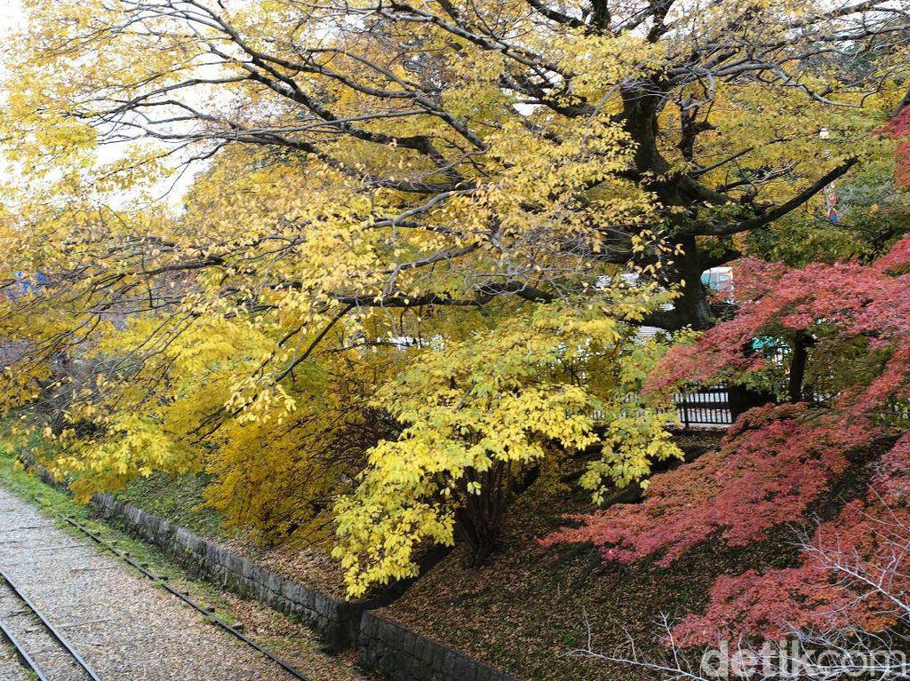 Diperkirakan, pekan ini merupakan puncak musim gugur (autumn) di Kyoto, Jepang.