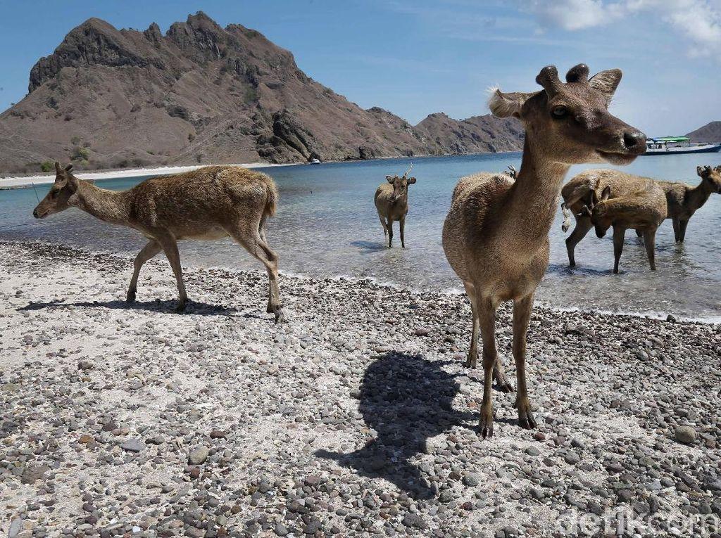 Menariknya, di Pantai Pulau Padar juga dapat dijumpai segerombolan rusa jinak.