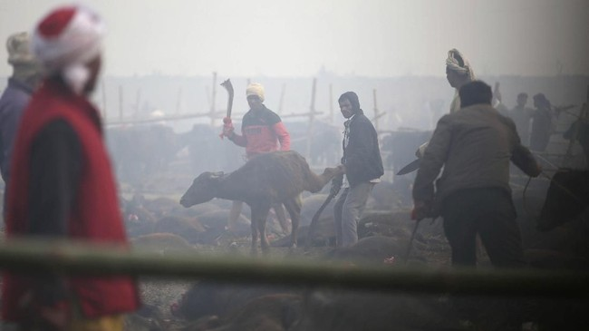 Ketika para aktivis tak dapat menghindarkan para hewan dari kematian, mereka disebut tetap merawat korban sampai jam-jam terakhir. (AP Photo/Samir Shrestha)