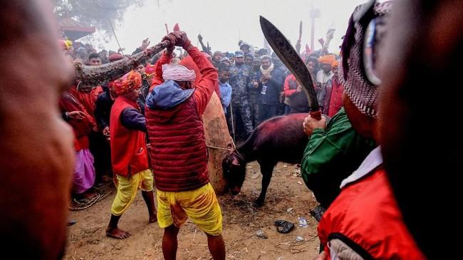Beberapa orang mengangkat dan mengayunkan senjata dalam Gadhimai Festival, mengucurkan darah hewan demi sang dewa. (Photo by PRAKASH MATHEMA / AFP)