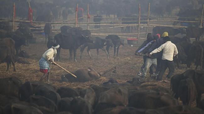Tahun ini adalah penyelenggaraan Gadhimai Festival pertama sejak pengadilan meminta pemerintah mencegah pertumpahan darah pada 2015, meski ribuan hewan tetap dibunuh dalam dua hari. (AP Photo/Samir Shrestha)