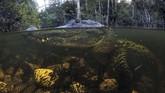Seekor buaya perairan di Big Cypress National Preserve di Florida pada Rabu (30/10). (AP Photo/Robert F. Bukaty)