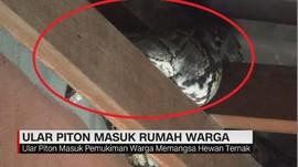 VIDEO: Ular Piton 3 Meter Masuk Rumah Warga
