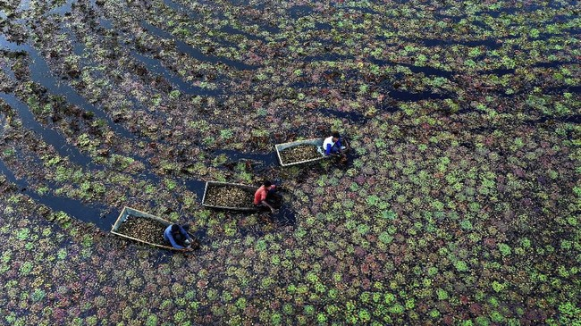 Penduduk desa memetik kastanye air dari sebuah kolam di Kanpur, negara bagian Uttar Pradesh, India pada Rabu (4/12). (AP Photo/Rajesh Kumar Singh)