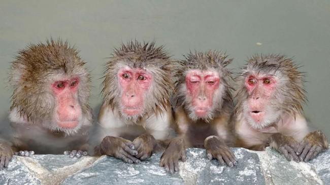 Monyet Jepang yang tengah berendam di sumber air panas di Kebun Raya Tropis Hakodate di Hakodate, pada Minggu, (1/12). (Yohei Fukai/Kyodo News via AP)