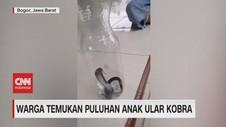 VIDEO: Warga Temukan Puluhan Anak Ular Kobra