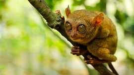 Menyambangi Habitat 'Monyet Hantu' di Bukit Peramun