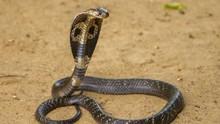 Belasan Ular Kobra Ditemukan di Kamar Mandi Warga Jakbar