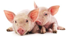 Daging Babi Paling Untung dari Kesepakatan Dagang AS-China