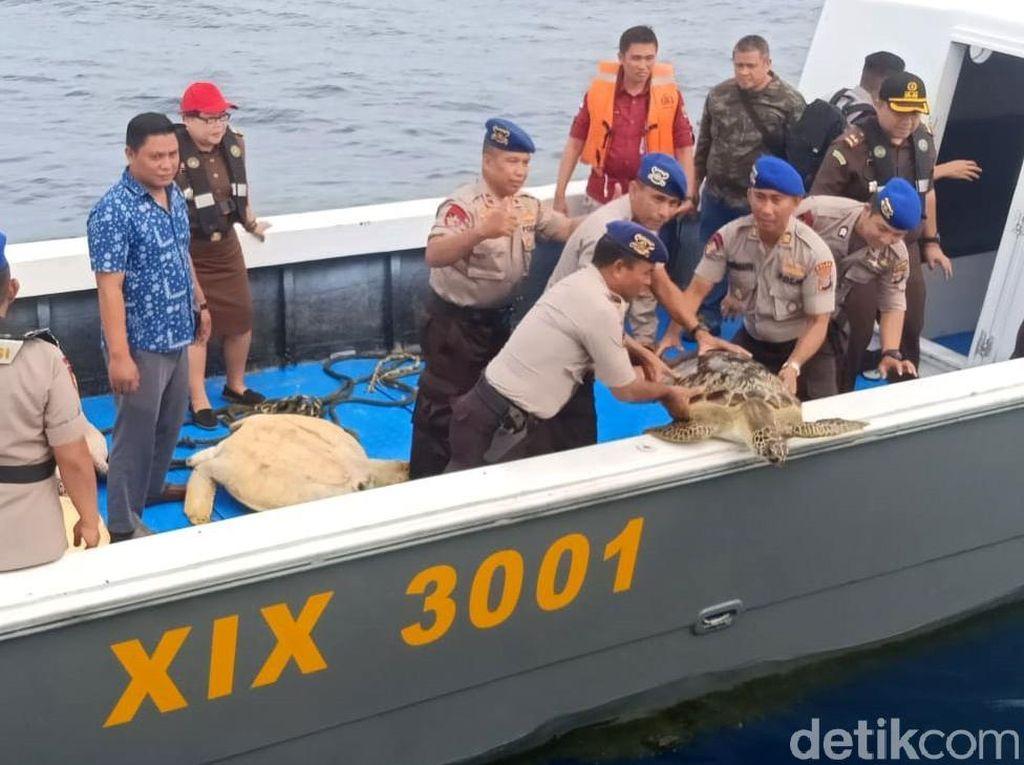 Puluhan penyu dewasa tersebut diduga adalah hasil penyelundupan yang akan diperjualbelikan di wilayah Bali. Istimewa/Dok. Humas Polda Sulteng.