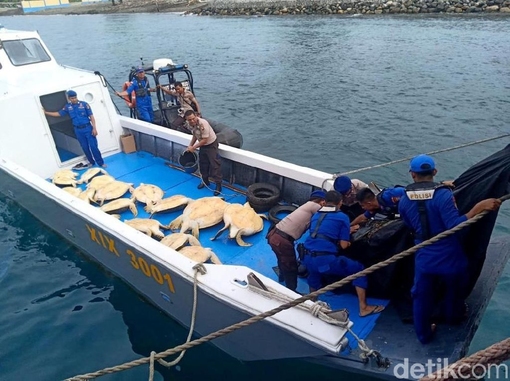Polisi menyita 23 Penyu Hijau atau chelonia mydas dari salah satu kapal nelayan di kawasan perairan Banggai Kepulauan, Sulawesi Tengah pada Selasa (3/12) lalu. Istimewa/Dok. Humas Polda Sulteng.