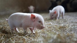 Chimera, Spesies Babi-Monyet Pertama Dunia Lahir di China