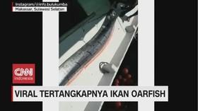 VIDEO: Tertangkapnya Ikan Oarfish di Sulsel Gegerkan Warga