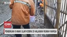 VIDEO: Geger Penemuan 8 Anak Ular Kobra di Halaman Rumah