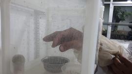 Mengenal Teknik Serangga Mandul Batan yang Bisa Cegah DBD