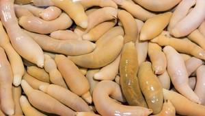 Ribuan Cacing Penis Terdampar di Pantai Akibat Badai El-Nino