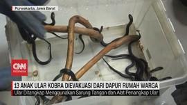 VIDEO: 13 Ular Kobra Ditemukan di Dapur Rumah Warga