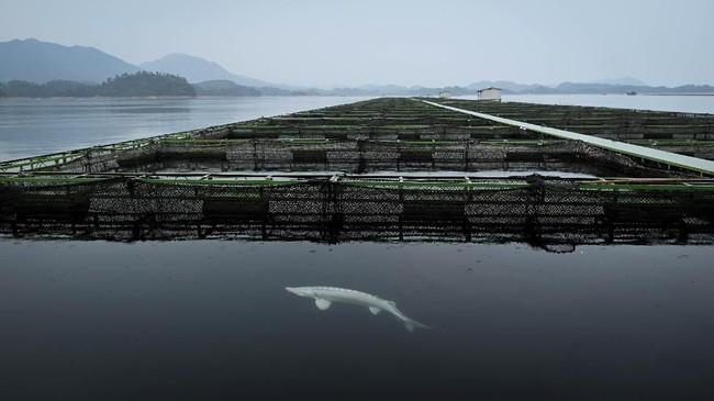 Kaviar atau telur ikan yang disajikan di restoran berbintang Michelin bisa jadi berasal dari China. Pasalnya, salah satu daerah di China merupakan penghasil kaviar ternama dunia. (Photo by WANG ZHAO / AFP)