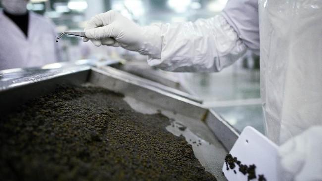 Telur yang dikeluarkan tersebut kemudian dicuci, disortir dan diasinkan. Setelah semua proses selesai akan ditempatkan di dalam kotak. Kaluga Queen menghasilkan 86 ton kaviar tahun lalu. (Photo by WANG ZHAO / AFP)