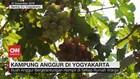 VIDEO: Melihat Uniknya Kampung Anggur di Yogyakarta
