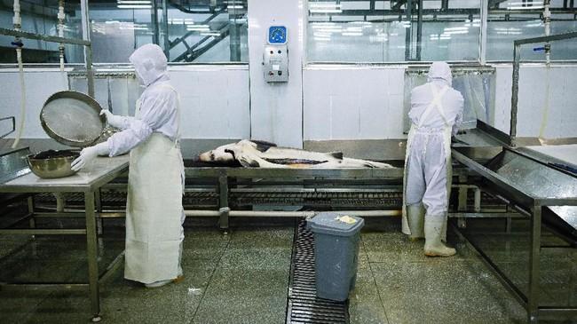Merek Queen Kaluga dibuat pada 2005 oleh para ahli yang bekerja untuk Kementerian Pertanian China. Saat ini perusahaan tersebut telah memproduksi sepertiga dari kaviar dunia. (Photo by WANG ZHAO / AFP)