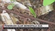 VIDEO: Penemuan Ular Berkepala Dua di Bogor