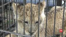 VIDEO: Polisi Gagalkan Upaya Penyeludupan 4 Ekor Singa