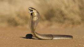 Ramai Teror Kobra, Sembilan RS Depok Sediakan Antibisa Ular