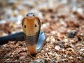 Mengenal Naja Sputarix, Ular Kobra yang Hantui Rumah Warga