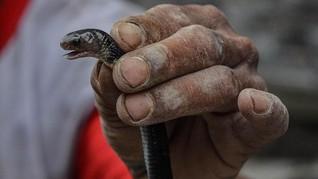 Teror Ular Kobra, Serang Bocah dan Masuk Rumah Warga