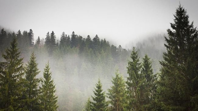 Menyuburkan Punggung Ijen dengan Pohon Cemara Gunung