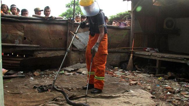 Induk Kobra Ditangkap di Jeruk Purut, Sempat Semburkan Bisa