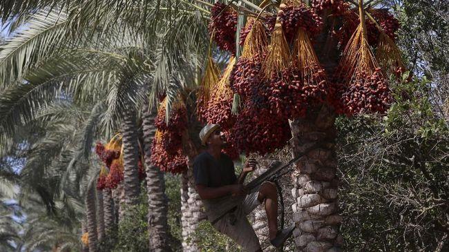 Dinominasikan 14 Negara, Pohon Kurma Masuk Daftar UNESCO