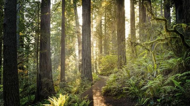 Redwood National and State Park di California menjadi salah satu habitat pohon-pohon purba yang tinggi dan besar di dunia. Taman nasional ini dijadikan lokasi syuting Planet Endor tempat Ewoks bermukim. (Istockphoto/HadelProductions)