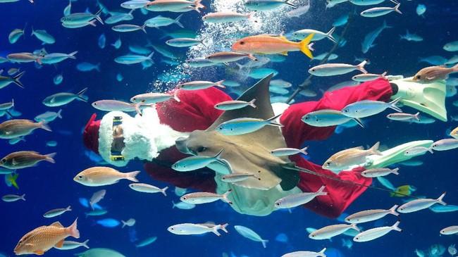 Seorang penyelam dengan kostum Sinterklas berenang bersama ikan-ikan di Aquarium Sunshine, Tokyo, Jepang, menyambut datangnya Natal. (AFP/Kazuhiro Nogi)