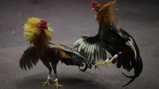Pria Tewas Setelah Diserang Ayam Aduan Peliharaan