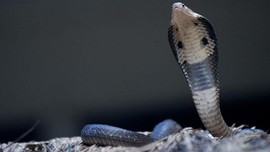Damkar Amankan Ular Kobra Satu Meter di Dapur Warga Cipayung