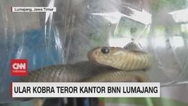 VIDEO: Ular Kobra Teror Kantor BNN Lumajang