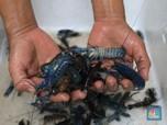 Kebangetan! Ekspor Dibuka, 'Bayi' Lobster Masih Diselundupkan