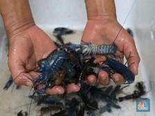 Jokowi Minta Edhy Prabowo Tak Gegabah Ekspor Benih Lobster