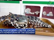 Soal Ekspor Benih Lobster, Jokowi Minta Edhy Tak Gegabah
