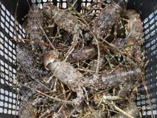Edhy Prabowo Buka Izin Ekspor Lobster, 26 Eksportir Antre