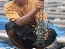Sayonara! Larangan Ekspor Benih Lobster Era Susi Tamat