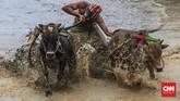 Festival Pacu Jawi kembali digelar pada tahun ini, tepatnya pada Sabtu (28/12). Festival ini berupa karapan sapi khas masyarakat Nagari Binuang, Kecamatan Sungai Tarab, Kabupaten Tanah Datar, Sumatera Barat.