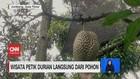VIDEO: Wisata Petik Durian Langsung dari Pohon