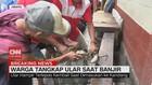VIDEO: Ular Sanca 4 meter Ditangkap Saat Banjir