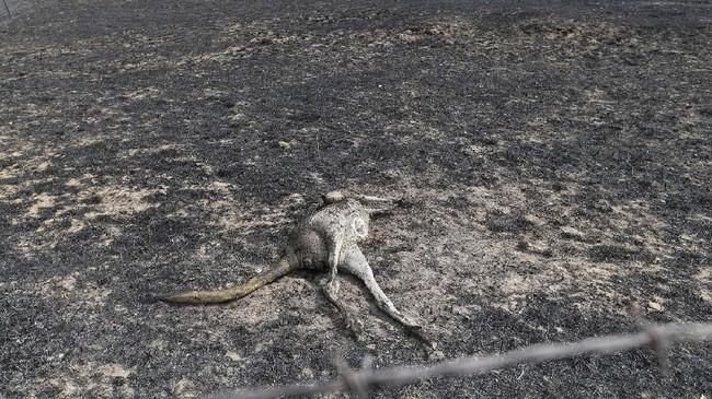 Sepertiga dari populasi koala di New South Wales diperkirakan mati akibat karhutla. (SAEED KHAN / AFP)