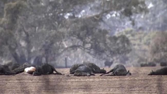 Sebanyak 5,5 juta hektare lahan dan 1.000 rumah dilaporkan hangus dan rusak. (Australian Broadcasting Corporation via AP)